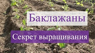 Выращивание баклажанов. В чем секрет?