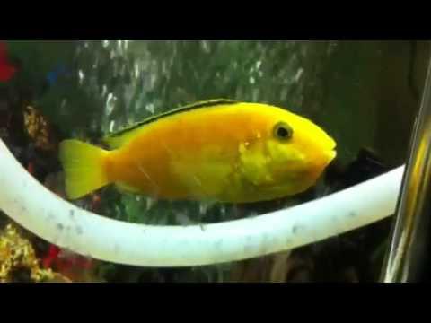 Cichlid Fish Eggs Yellow Electric Cichlid Fish