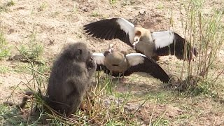 Geese Brutally Attack Hungry Baboon