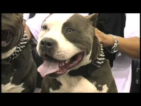 PITBULL BULLY EXPO 2005  WITH BLUE LINE KENNELS   ELITE EDGE CREW MEMBER .