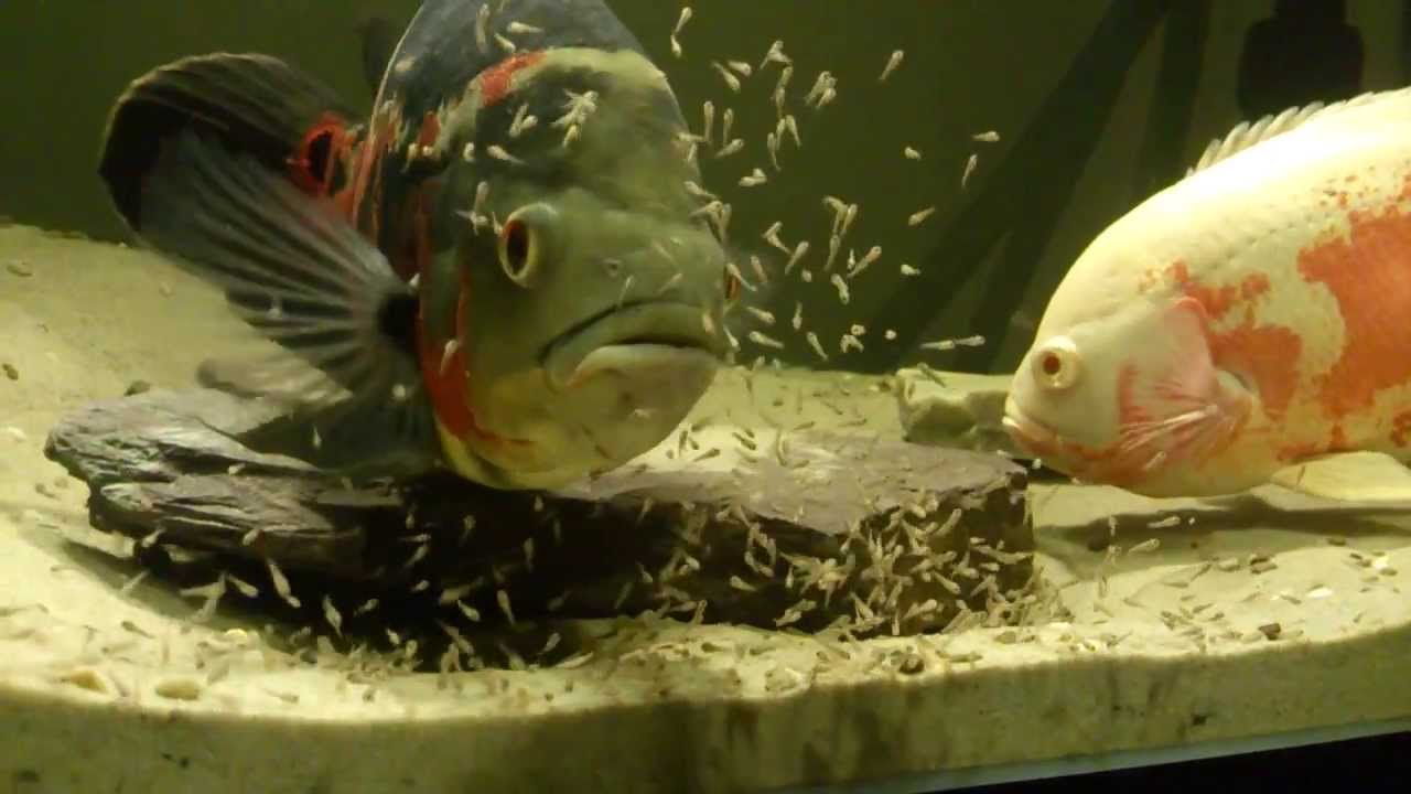 oscar fish fry 5 days old youtube