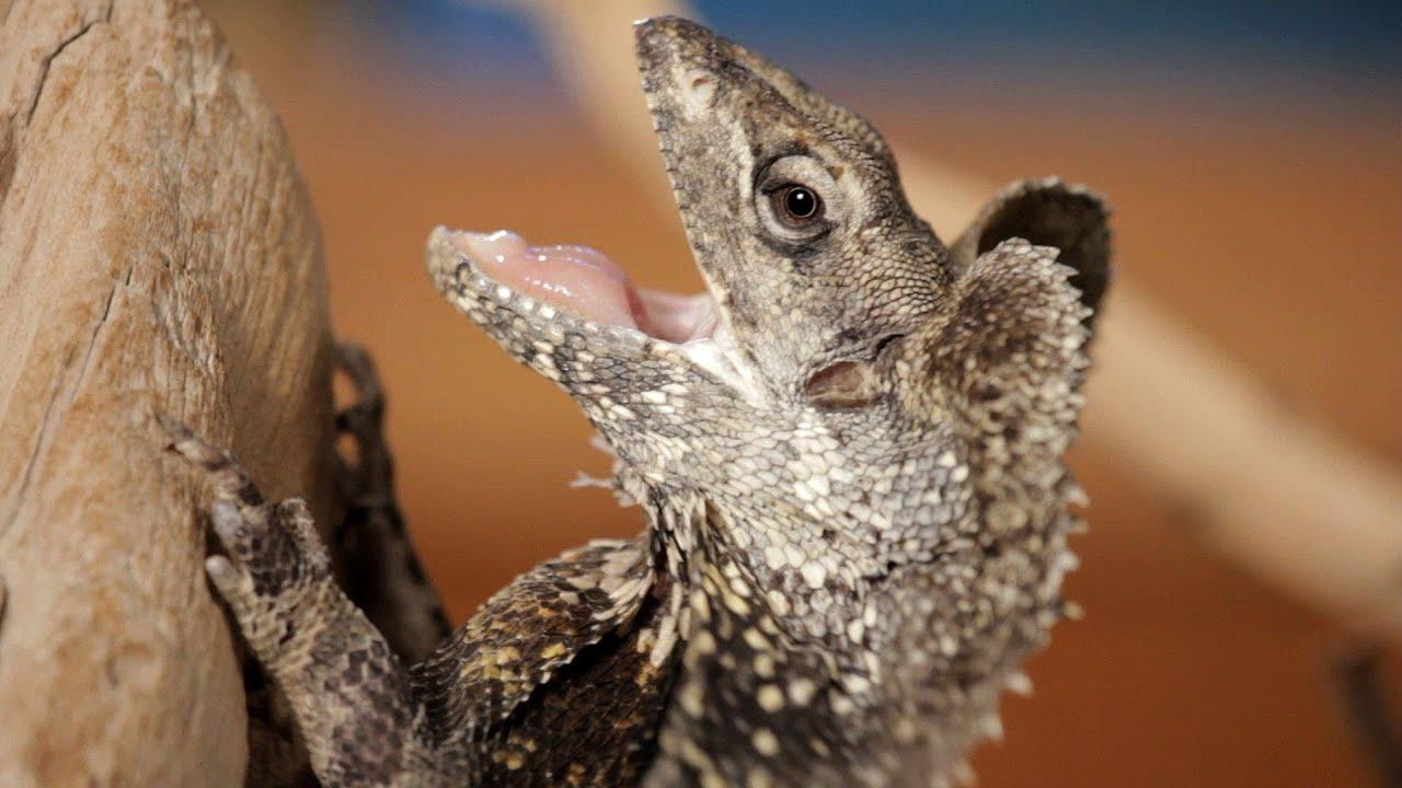Reptiles Pets Australia Dragons | Pet Reptiles