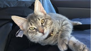 This cute rescue kitten is enjoying the view while inside the car | Kitten loves car ride
