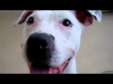 Queen a Pit Bull Terrier available for adoption at the Wisconsin Humane Society