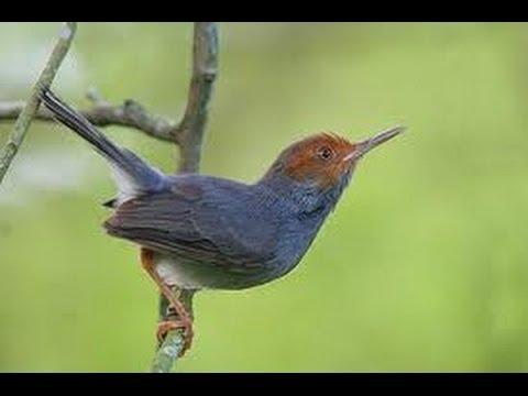 Burung Master : Prenjak Kepala Merah Suara Kristal video