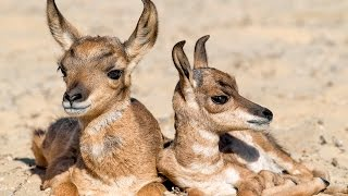 Peninsular Pronghorn Recovery Project