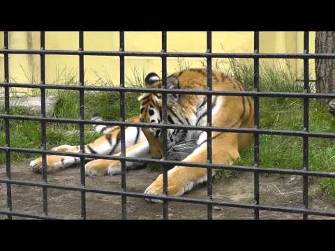 2011年7月24日 釧路市動物園 アムールトラ ココア1