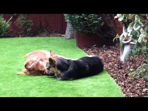 Caucasian ovcharka shepherd dog playing with a German shepherd