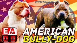 EL AMERICAN BULLY Y LOS DIFERENTES TIPOS DE AMERICAN BULLY