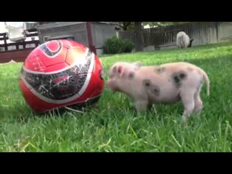 Our mini pigs and their piglets hanging with us! - YouTube