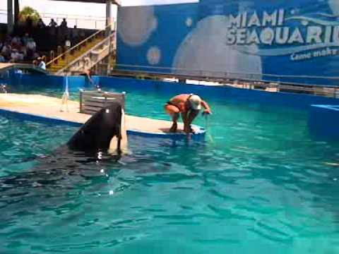 "Orca Lolita Begs for Food as Miami Seaquarium ""Celebrates"" 40th Anniversary of Her Brutal Capture"