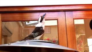 Impressive Kookaburra call