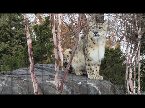 The UN Celebrates World Wildlife Day with Snow Leopards at Central Park Zoo