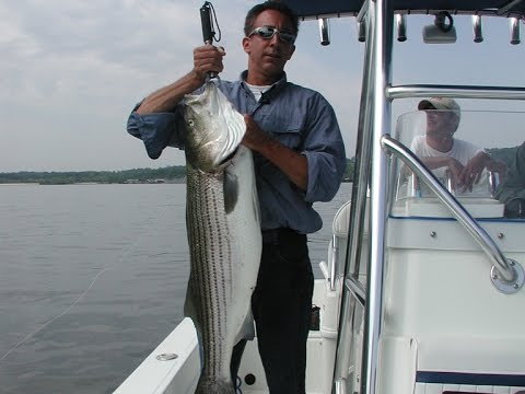 Striped Bass Fishing - Live Lining Bunker