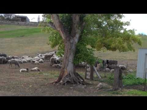 Field of Sheep at Lava Hot Springs
