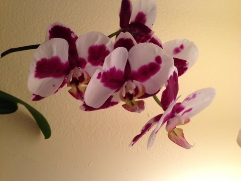 Rebloom Your Orchids