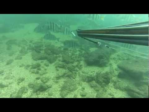 Spearfishing Sheepshead 2013 (ICW)