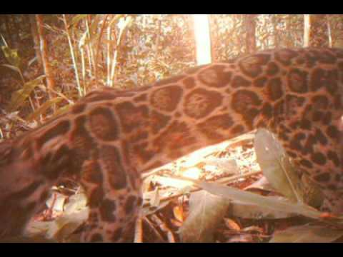Unique footage of clouded leopard