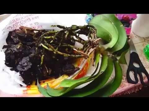 Сажаю орхидею, корни после обильного полива