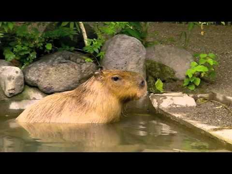 上野動物園のカピバラ!マオちゃん!