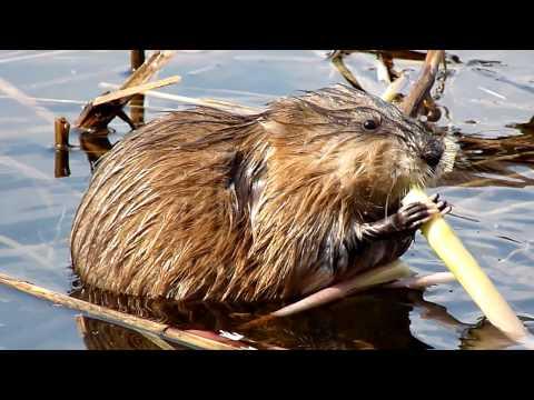 К чему снится водяная крыса