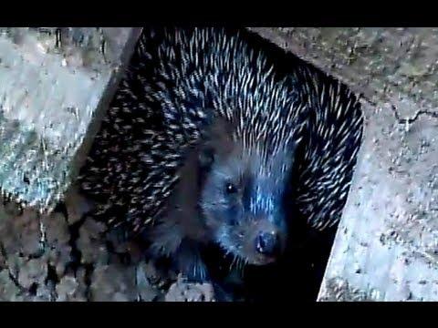 Video divertenti animali – cuccioli di riccio a colazione!. ( funny videos, hedgehog)