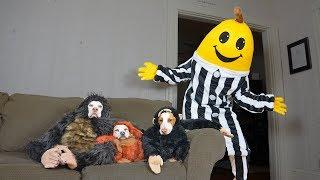 Monkey Dogs vs Giant Banana Prank! Funny Dogs Maymo, Penny & Potpie