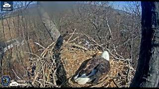 11:14 am 3/19/18 Something is bothering the adult on Hanover eagle nest