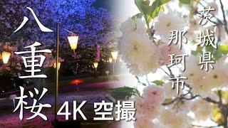 八重桜[4K]茨城県那珂市|絶景茨城 -VISIT IBARAKI, JAPAN-