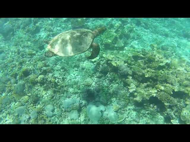 Snorkling with a big sea turtle - Flicit Island Seychelles