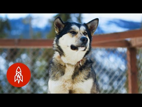 Exploring Denali National Park With Real American Sled Dogs