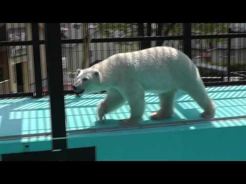 2011年5月26日 おびひろ動物園 ホッキョクグマのイコロ1