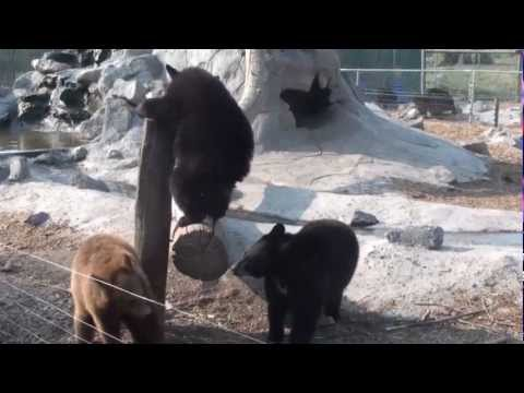 Lost Dispatch Presents: Bear Cubs Being Hilarious!!!