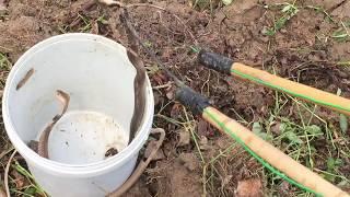 Cận Cảnh Bắt Ổ Rắn Hổ Mang Trong Hang Chuột Ở Bờ Ruộng Lúa