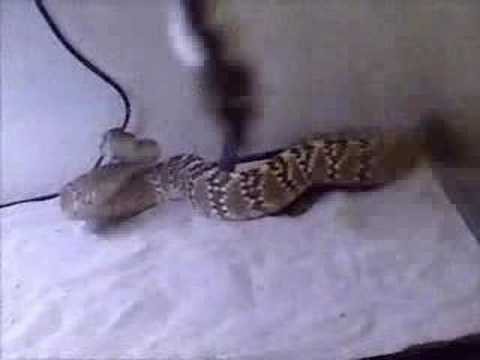 Black-Tailed Rattlesnake 01 Video