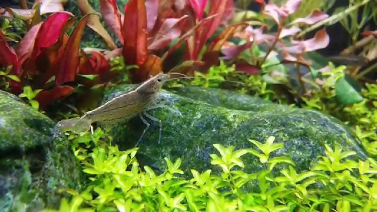 how to grow algae for shrimp