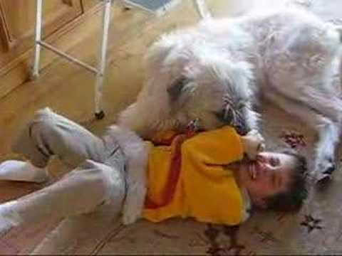 When Irish Wolfhounds Attack - YouTube