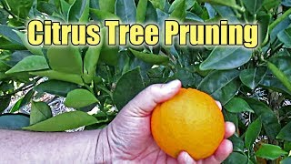 Citrus Tree Pruning | What Are Water Sprouts And Why You Should Remove Them?