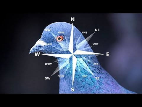 Pigeons' Brains: Navigation Abilities Linked to Special Neurons