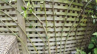 Re-tying a climbing rose to a trellis fence - part 1