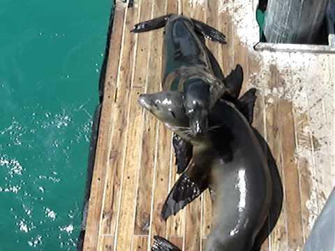 ECUADOR. Islas Galapagos. Lobos marinos jugando!!