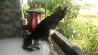 Indian dog breed lick doberman pinger