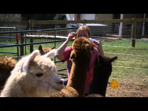 Alpacas for fun and profit