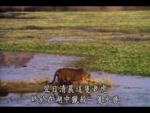 Tiger vs Crocodile