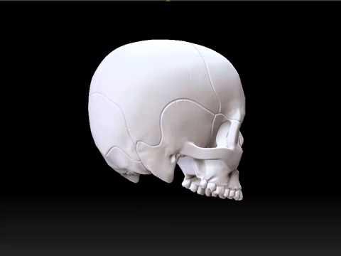 3D Human Skull Turnaround thumbnail