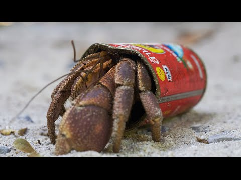 Crafty Hermit Crab Finds a New Home in a Food Tin | BBC Earth