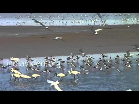0155 GT11 Birds Blackwinged stilts, Grey ...