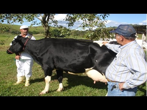 Curso Avaliação, Julgamento e Preparo de Vacas Leiteiras para Eventos - Avaliação em Pista
