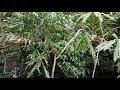 Suara Kolibri Wulung Betina Super Pikat  Masteran Kolibri