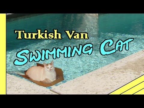 Turkish Van Swimming Cat Bucket Video -Funny HD - YouTube